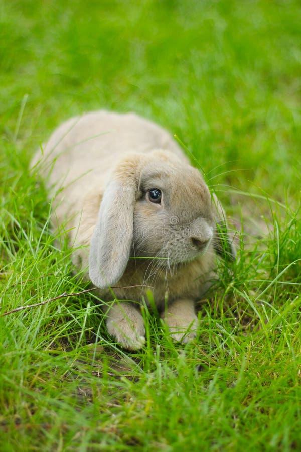 Gullig slokörad kanin fotografering för bildbyråer