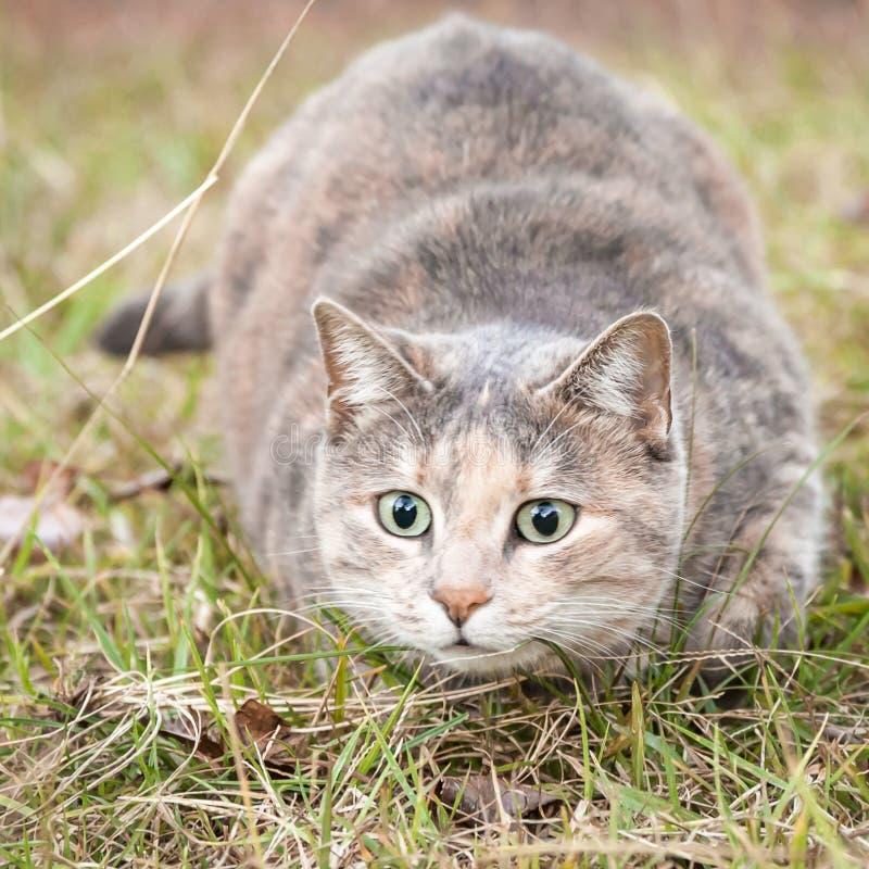 Gullig sned boll synade sköldpadds- Tabby Cat Ready som Pounce arkivfoto