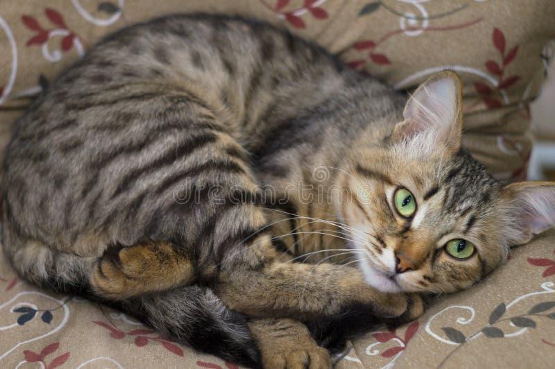 Gullig stående av en lat sova randig härlig katt Den unga päls- katten att tycka om att ligga på soffan, begraver sig i tafsar royaltyfri fotografi