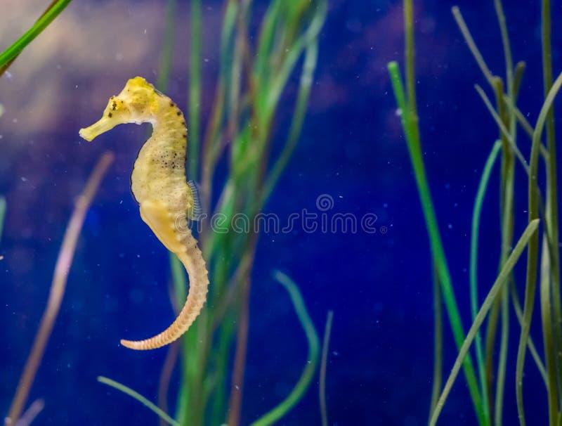 Gullig stående för marin- liv av en gemensam gul prickig bred flodmynningseahorse i makrocloseup royaltyfria foton