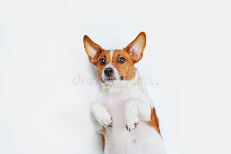 Gullig stålarrussell hund med den höga bästa sikten som ligger på ljus backgrou arkivbilder