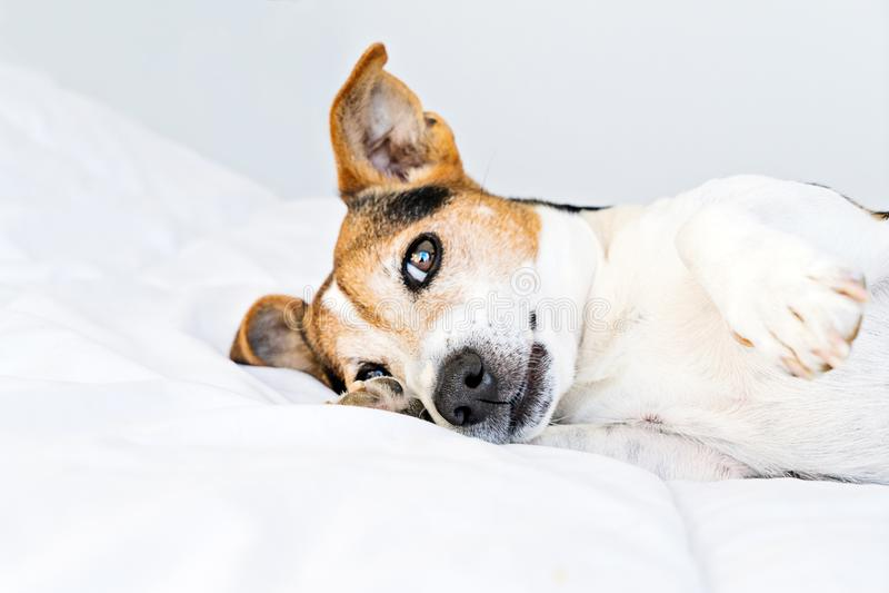 Gullig st?larrussell hund som l?gger i s?ng och tomfoolery p? det vita dunt?cket arkivbilder