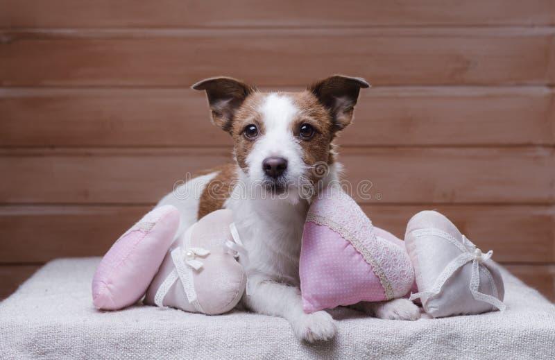 Gullig stålarRussell Terrier valentin för dag s royaltyfri fotografi