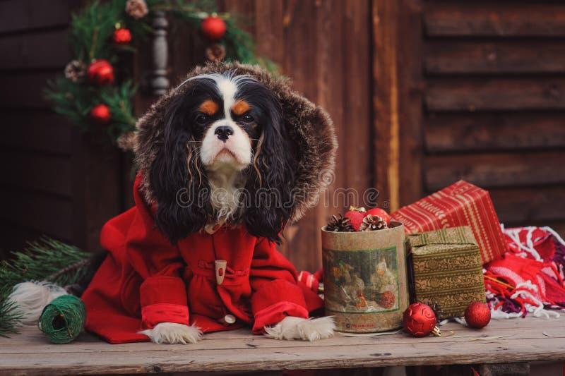Gullig stolt spanielhund för konung charles i rött lag som firar jul på det hemtrevliga landshuset royaltyfri bild