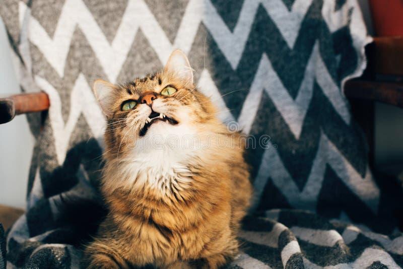 Gullig strimmig kattkatt som sitter och g?spar i stilfull stol i soligt rum Maine tv?ttbj?rn med gr?na ?gon och roliga sinnesr?re royaltyfri fotografi