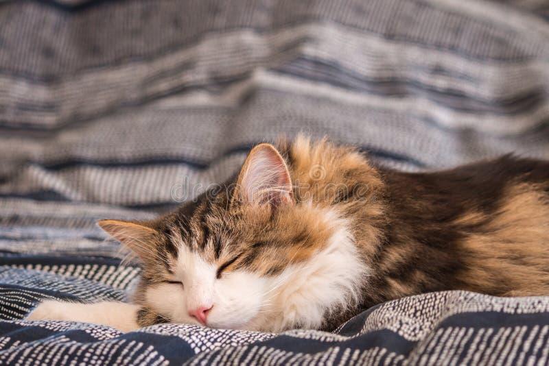 Gullig strimmig kattkatt som sover på säng med suddigt bakgrunds- och kopieringsutrymme över royaltyfria bilder