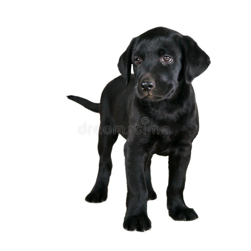 Gullig svart labradorvalp arkivfoto