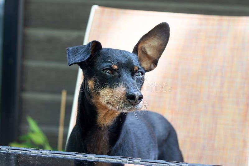 Gullig svart pinscherhund som ser royaltyfri foto