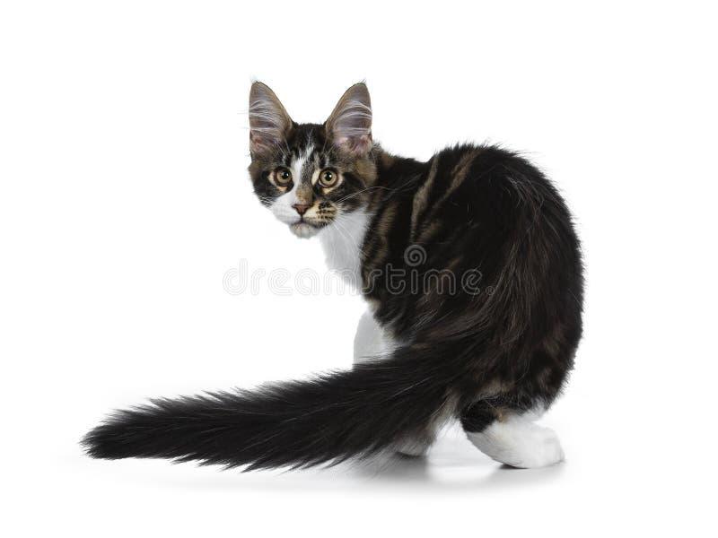 Gullig svart strimmig katt med den vita Maine Coon kattkattungen, svans som krullas bredvid bo arkivfoton