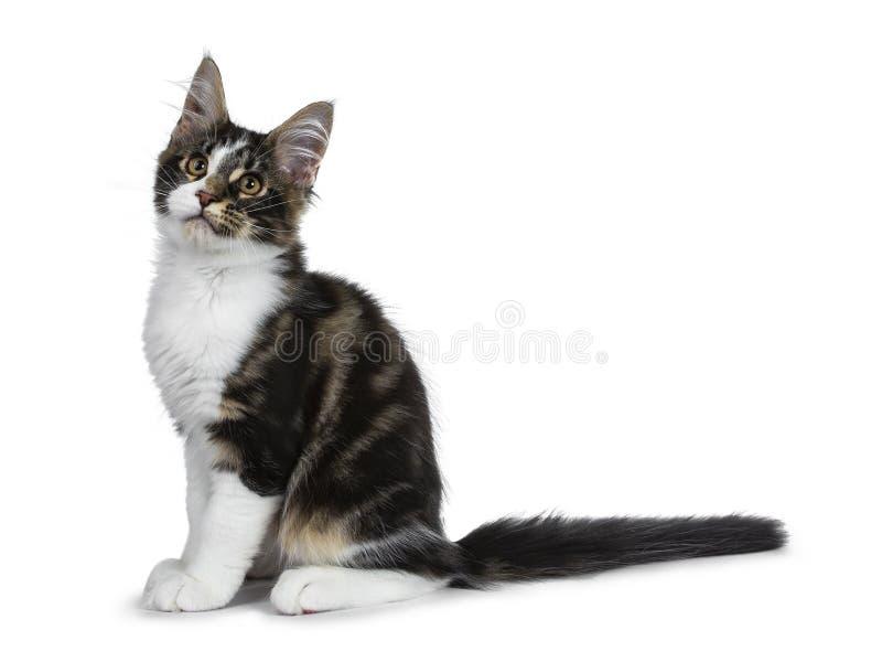 Gullig svart strimmig katt med den vita Maine Coon kattkattungen, svans som krullas bredvid bo royaltyfria bilder