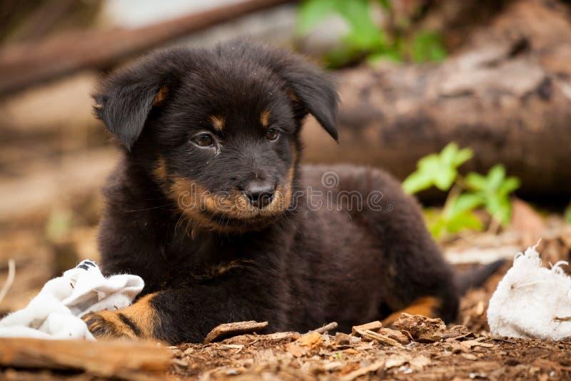 Gullig svart valp för tillfällig hund arkivfoton
