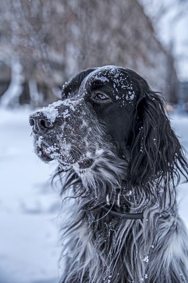 Gullig svartvit hund för engelsk setter som spelar i snö royaltyfri foto