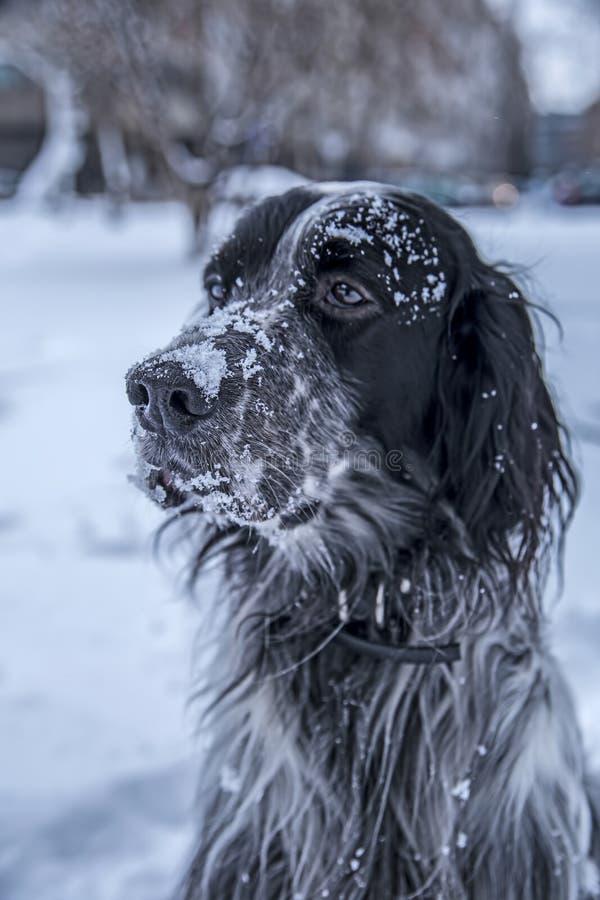 Gullig svartvit hund för engelsk setter som spelar i snö arkivbilder