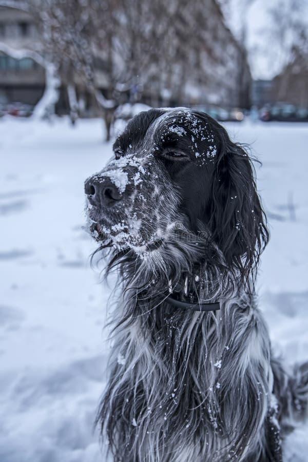 Gullig svartvit hund för engelsk setter som spelar i snö royaltyfri bild