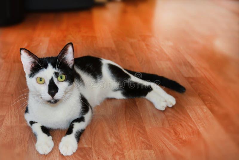 Gullig svartvit inhemsk katt som ligger på golvet arkivfoton