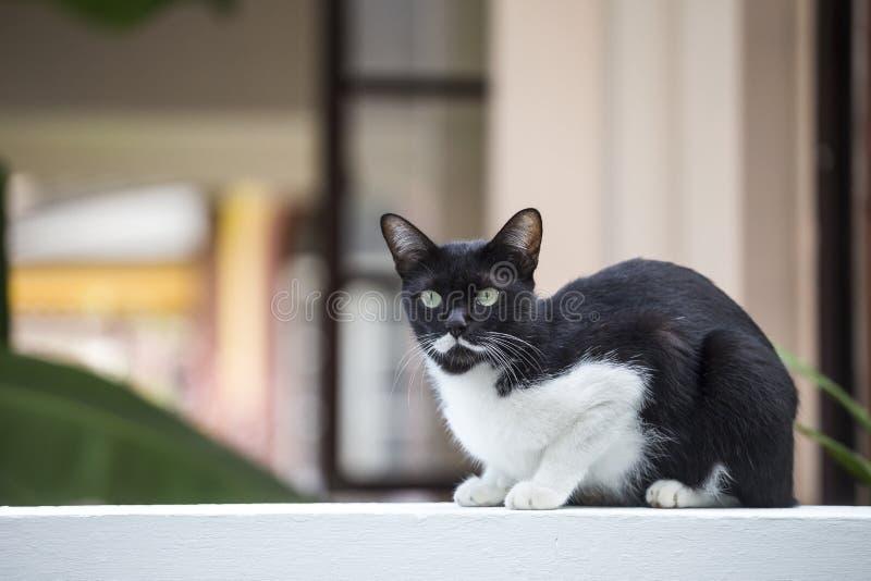 Gullig svartvit katt på väggen för vitt cement över suddig husbakgrund arkivfoton