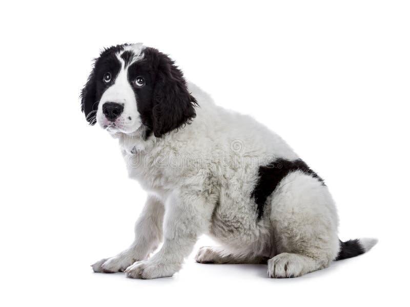 Gullig svartvit Landseer valp royaltyfria bilder