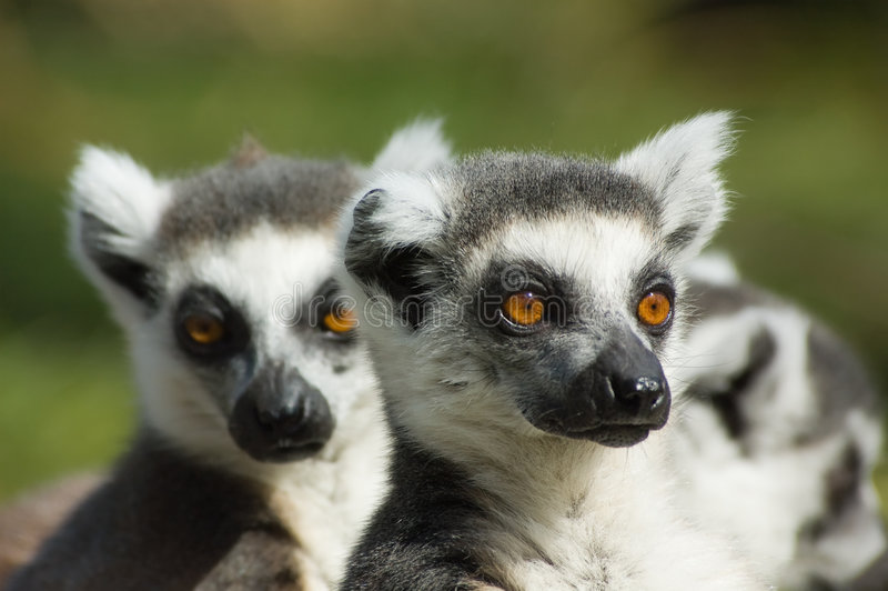 gullig tailed lemurcirkel arkivfoto