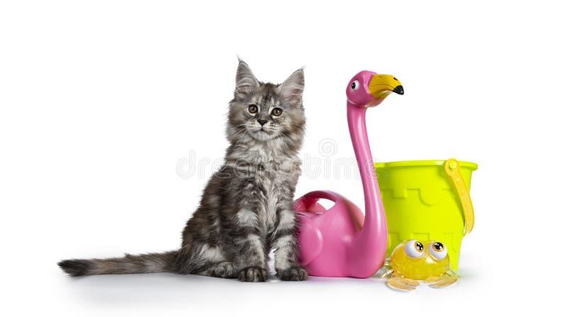 Gullig tortieMaine Coon kattunge med strandleksaker p? vit arkivbilder