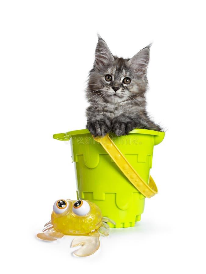 Gullig tortieMaine Coon kattunge med strandleksaker p? vit royaltyfri bild