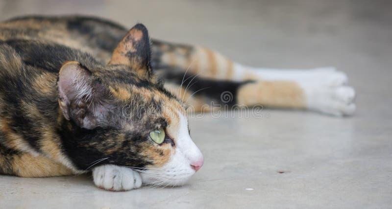 Gullig tricolor katt som ligger på jordningen arkivbilder