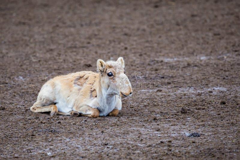 Gullig ung Saiga antilop eller den Saiga tataricaen vilar på jordning under att rugga royaltyfri bild