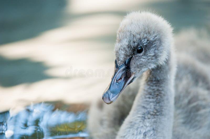 Gullig ung svan i vatten fotografering för bildbyråer