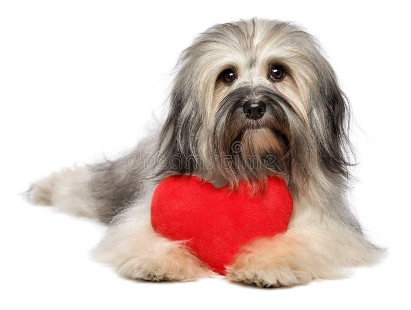 Gullig vänValentine Havanese hund med en röd hjärta royaltyfria bilder