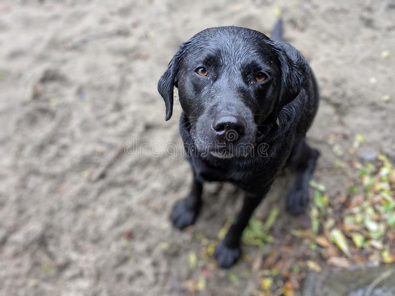 Gullig våt hund som tillbaka ser på kameran på den sandiga stranden på en regnig dag royaltyfria bilder