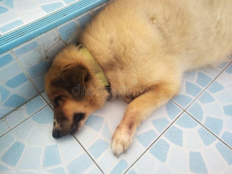Gullig vakthund royaltyfri foto
