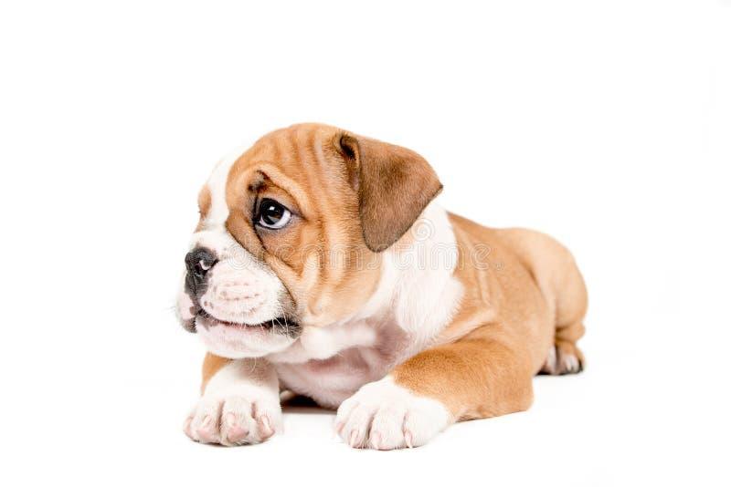 Gullig valp av den engelska bulldoggen royaltyfria foton