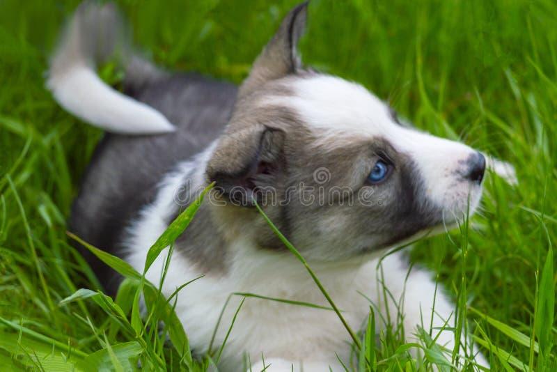 Gullig valp av en grå hund med lekar för blåa ögon på grönt gräs arkivbilder