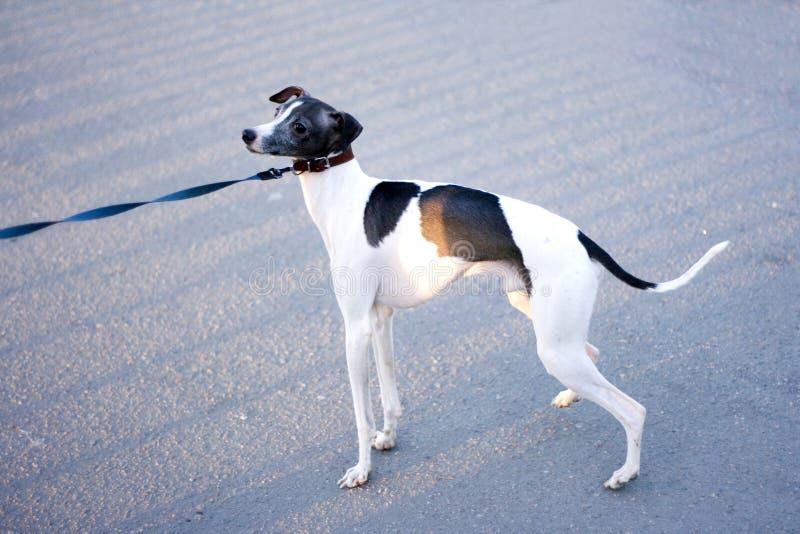gullig valp för cutiehundvovve royaltyfria bilder