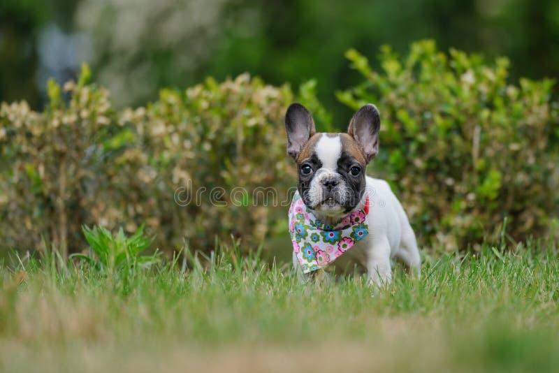 Gullig valp för fransk bulldogg utanför på gräs älsklings- litet Bästa vän fotografering för bildbyråer