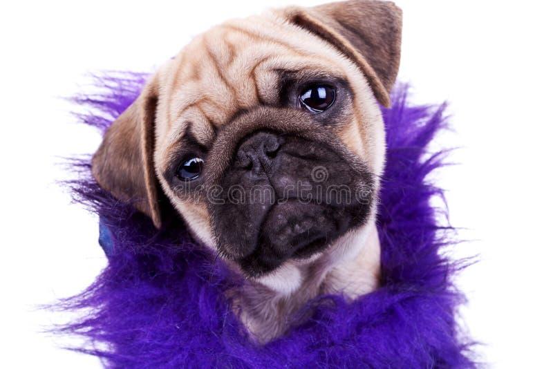 gullig valp för hundframsidamops royaltyfria bilder