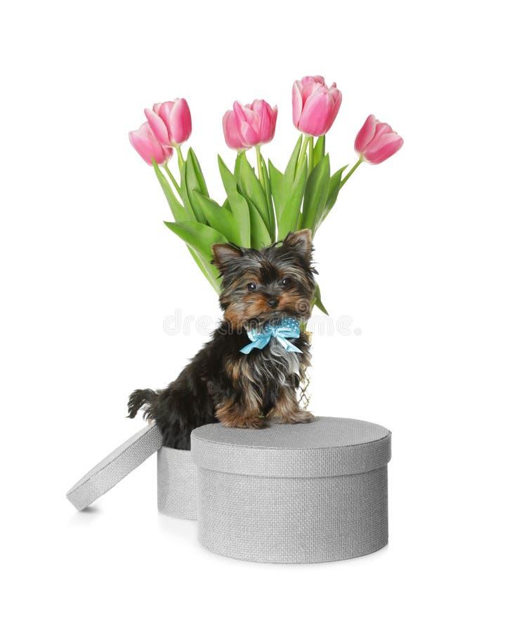 Gullig valp för Yorkshire terrier med hattasken och blommor på vit bakgrund royaltyfria bilder