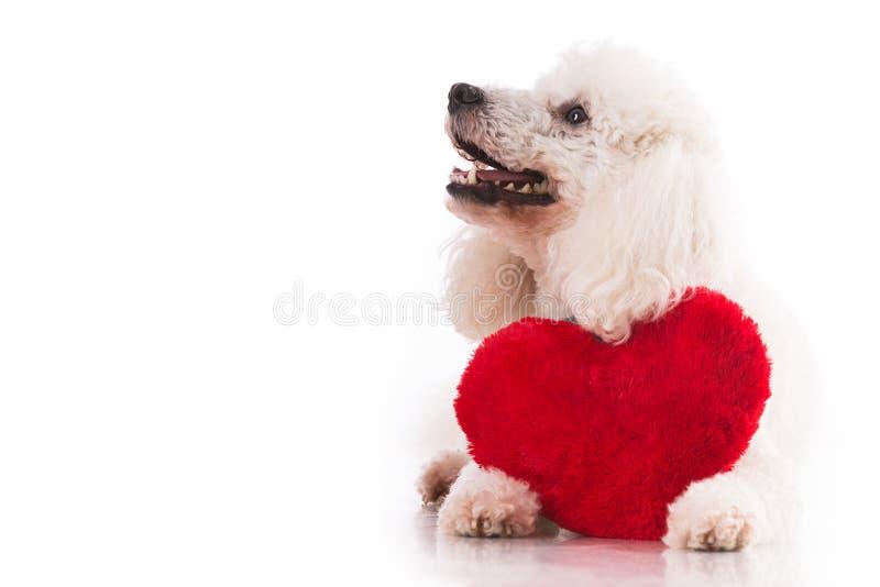 Gullig valp med en röd hjärta arkivbilder
