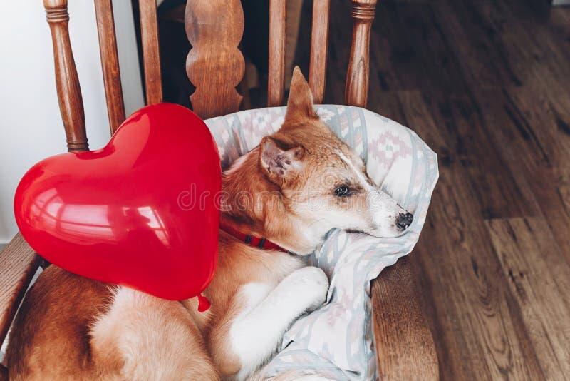 Gullig valp med röd hjärta Lyckligt begrepp för dag för valentin` s hundwi royaltyfria foton