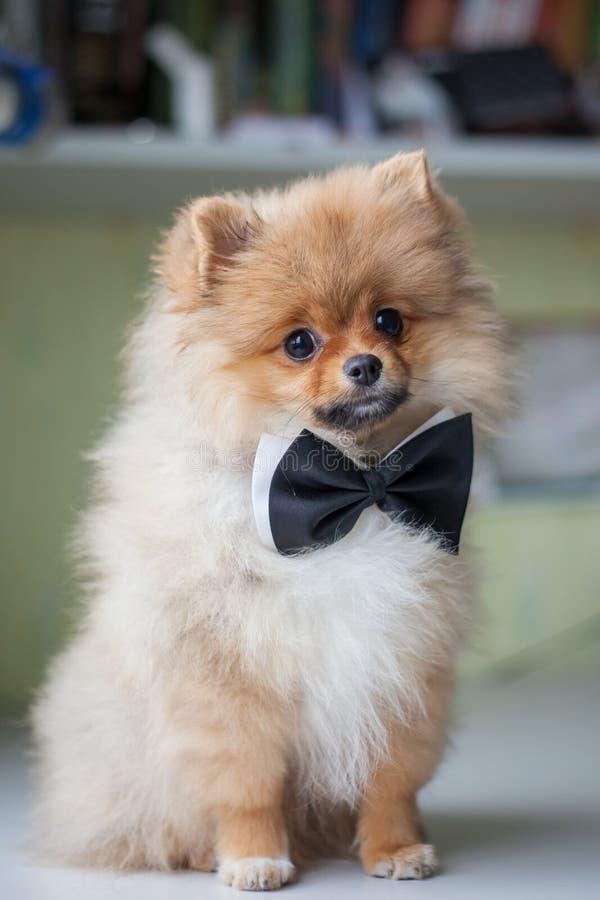 Gullig valp Pomeranian i en fluga royaltyfria bilder