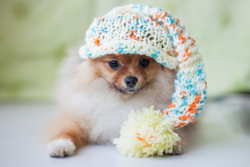 Gullig valp Pomeranian i stucken hatt royaltyfria bilder