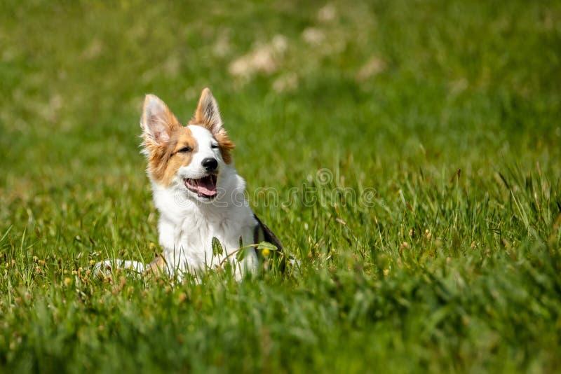 Gullig valphund som kopplar av på parkera eller ängen, blandad avelhund p royaltyfria bilder