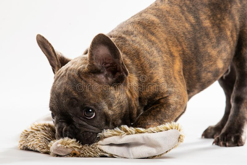 Gullig valpstående för fransk bulldogg royaltyfri foto