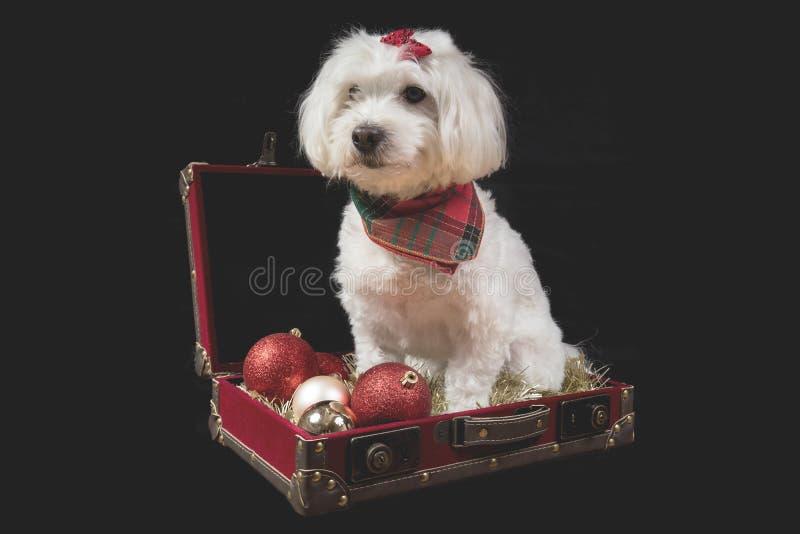 Gullig vit hund som sitter i röd resväska på svart bakgrund arkivbilder