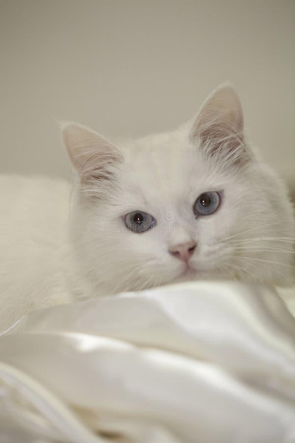 Gullig vit katt med stora ögon arkivfoton