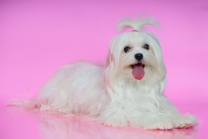 Gullig vit maltesisk hund royaltyfri bild