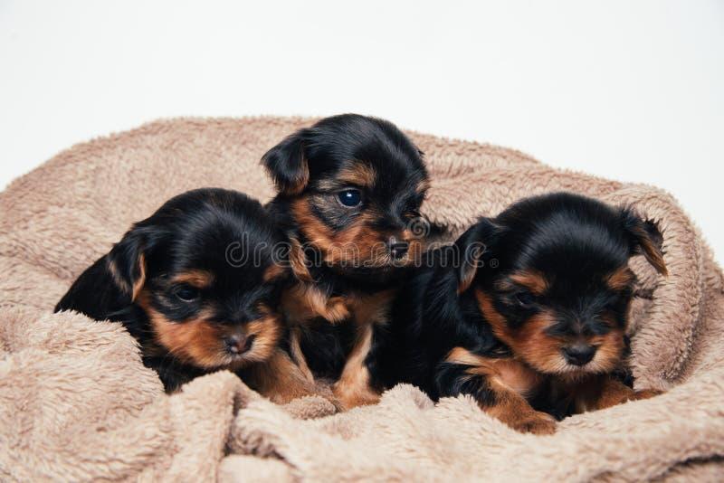 Gullig yorkshire för tre pupies terrier arkivfoton