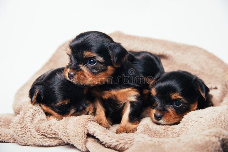 Gullig yorkshire för tre pupies terrier arkivfoto