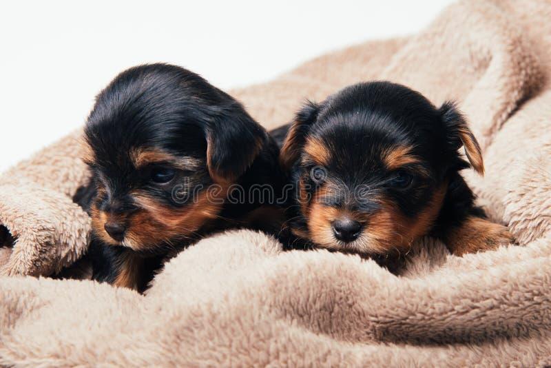 Gullig yorkshire för två pupies terrier royaltyfri foto