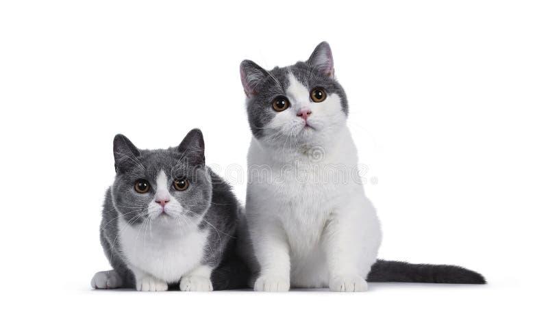 Gulliga blåa vita brittiska Shorthair kattungar på vit royaltyfri fotografi