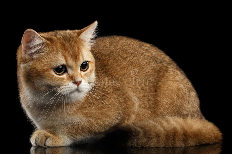 Gulliga brittiska Cat Gold Chinchilla Lying, SAD blickar, isolerad svart royaltyfria foton